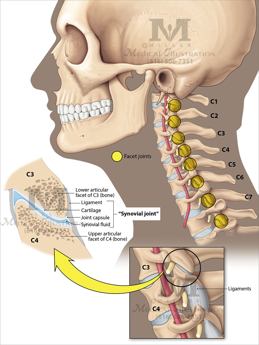 Cervical Spine Anatomy Miller Medical Legal Illustration